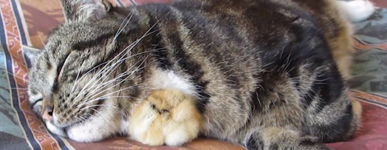 A legjobb helyet találta meg a kiscsibe a pihenésre: a cica feje alatt
