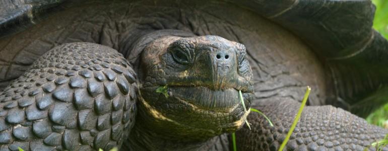 Új óriásteknősfajra bukkantak a Galápagos-szigeteken