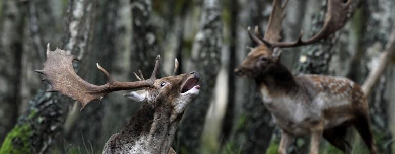 Dámszarvasok barcogása a barcsi erdészetben