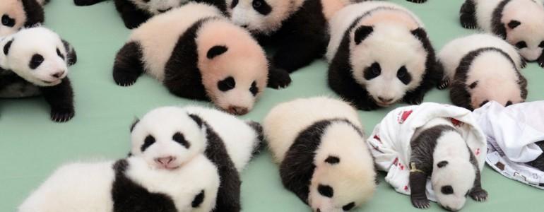 Rekordszámú újszülött panda maradt idén életben