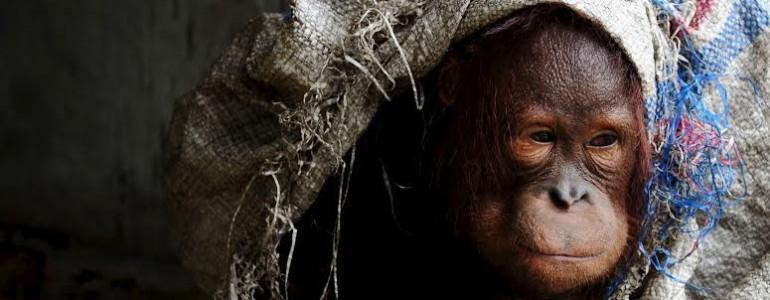 Egyetlen tragikus fotó az orangutánkölykök jövőjéről