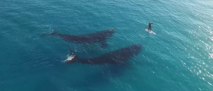 Bámulatos videó két hatalmas bálnáról
