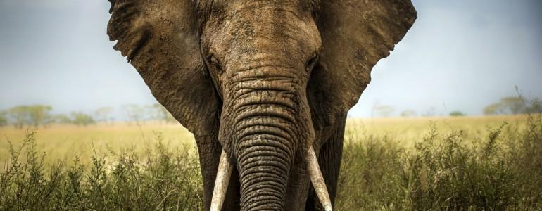 Egy idős kínai nő lehet az illegális elefántcsont-kereskedelem feje