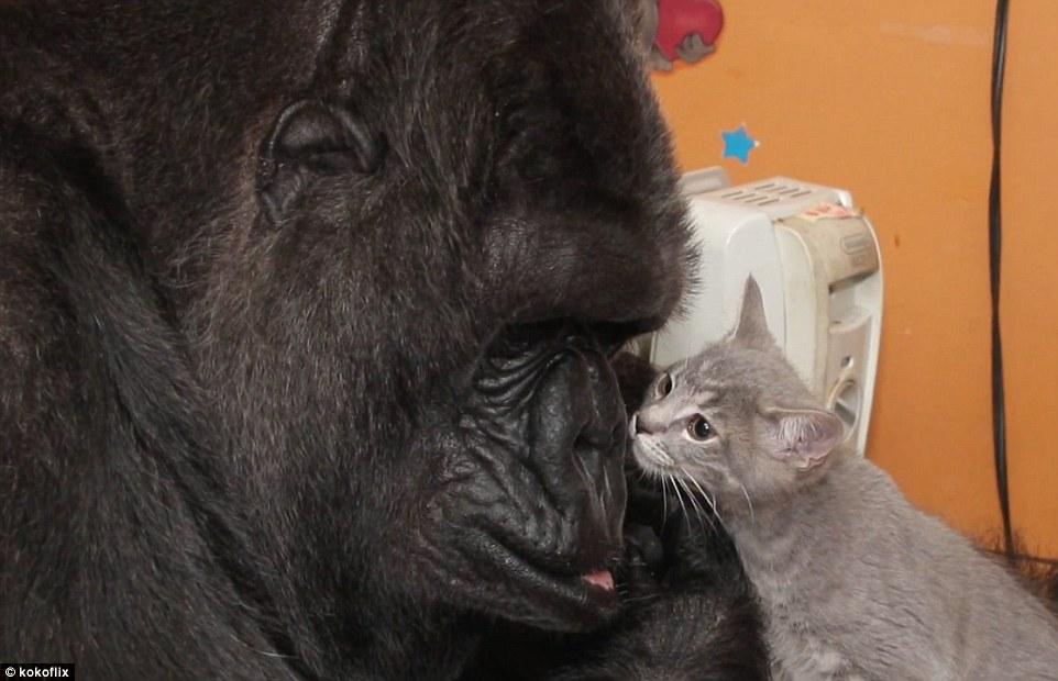 Kiscicákat fogadott örökbe Koko, a világ legokosabb gorillája