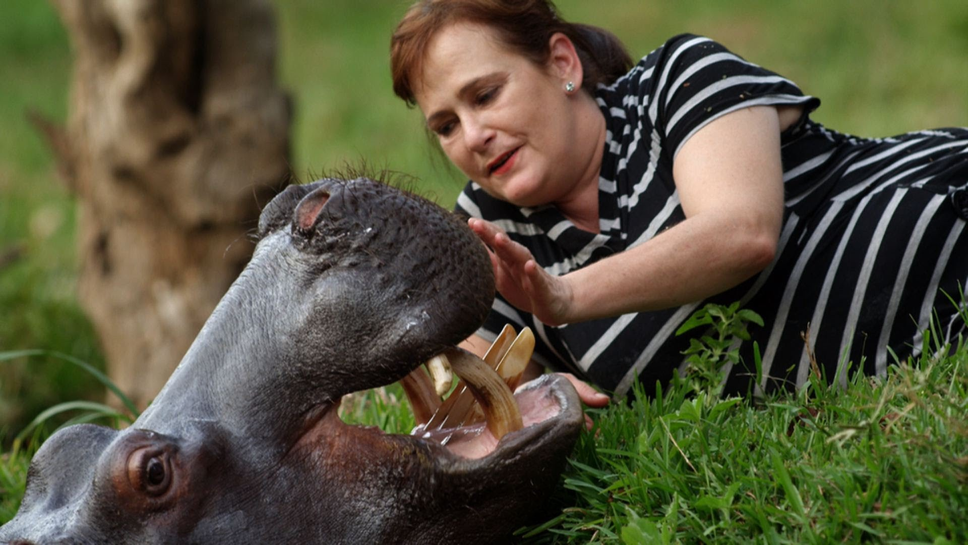 Bemutatjuk Jessicát, a vízilovat, akit emberek neveltek fel