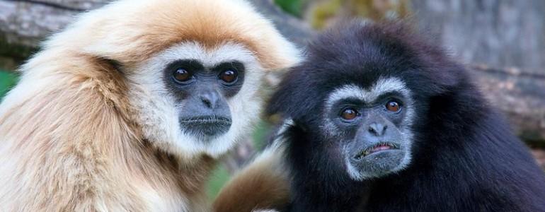 Gibbonszerű lény 11,6 millió éves kövületét találták meg Spanyolországban