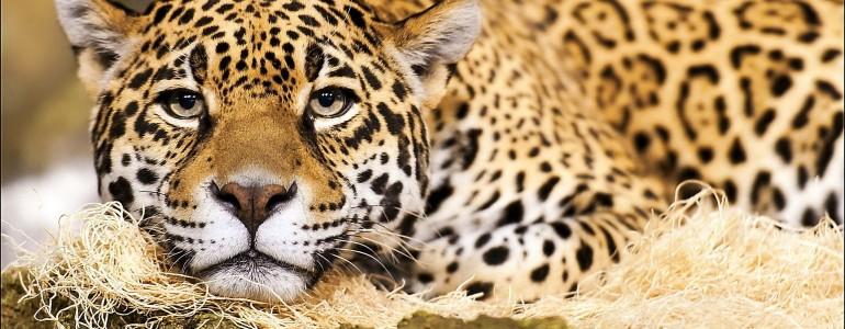 Párzás helyett csak az evés érdekli az elhízott jaguárt