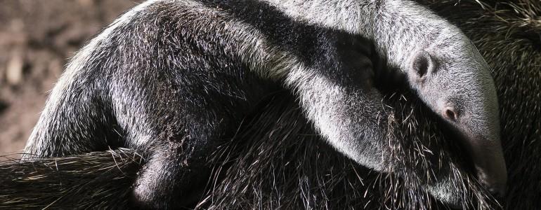 Sörényes hangyászbébi a Nyíregyházi Állatparkban