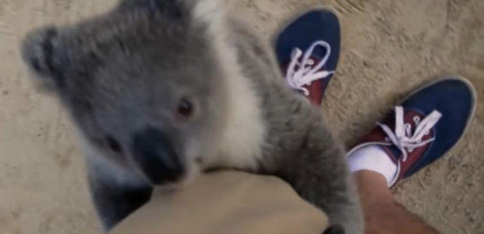 Ölelést kapott az operatőr a koalabébitől