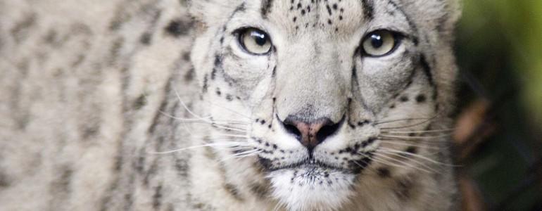 A kihalás szélére sodorta a hópárducokat az éghajlatváltozás