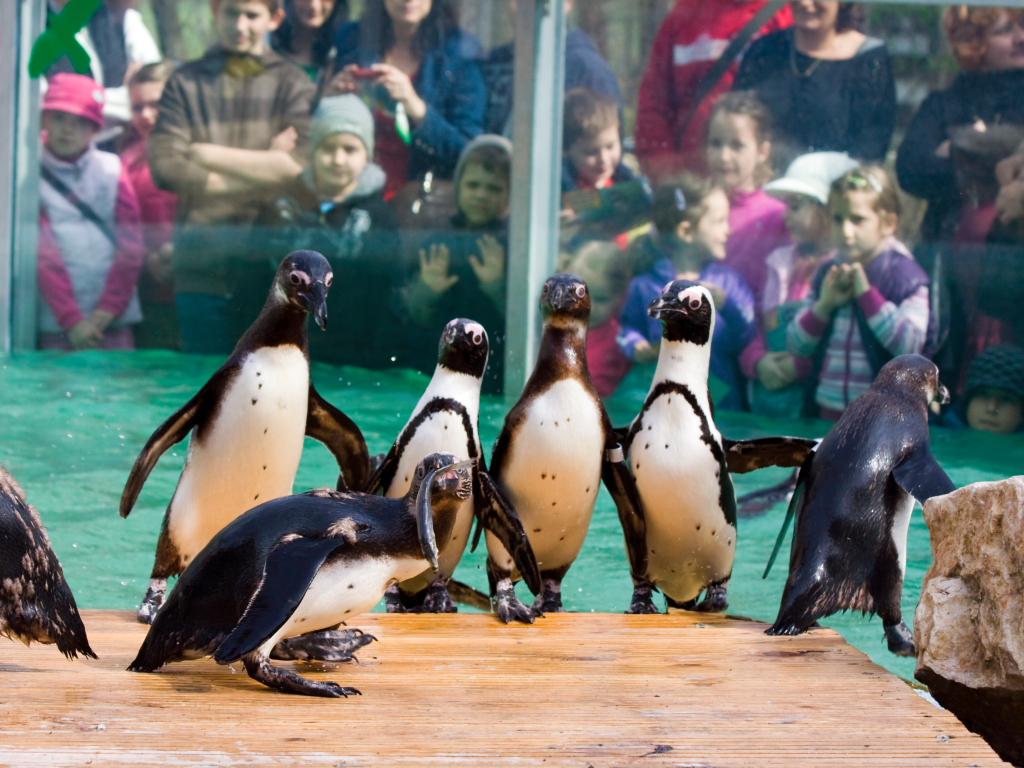 Pingvineket küld Belgrádba a Szegedi Vadaspark