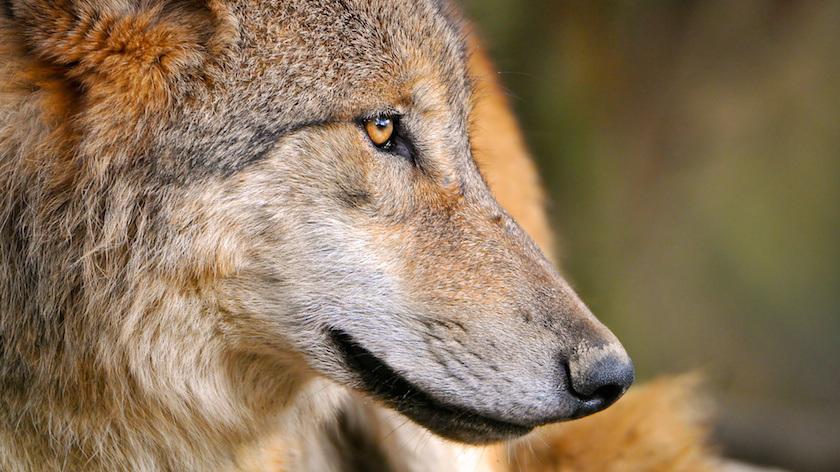Nem volt engedélye a pécsi állatkertnek a farkasok behozatalára