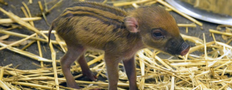 Kismalacok a cebui disznóknál a Fővárosi Állatkertben