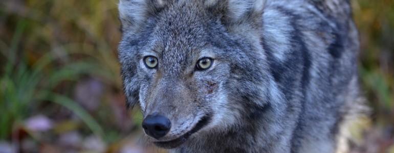 Nagyobb védelmet kapnak a farkasok Szlovákiában