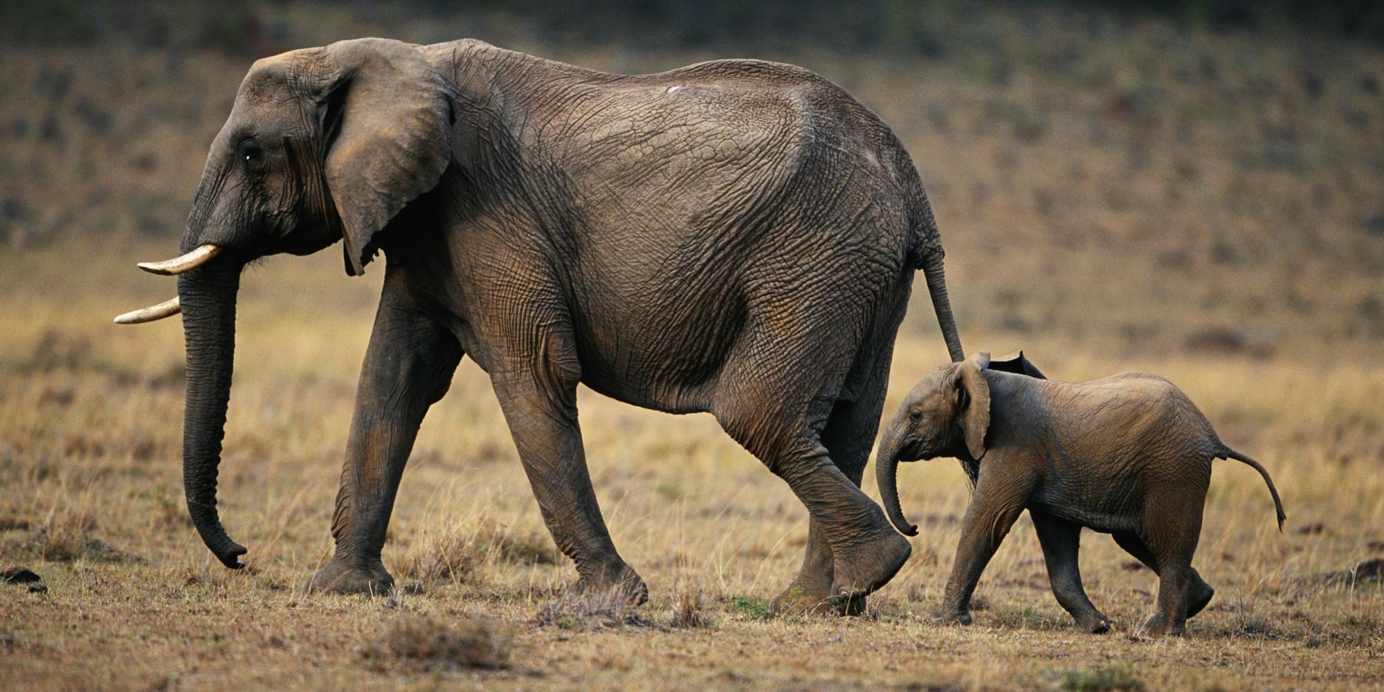 Meglepő dologra jöttek rá a tudósok a nagytestű emlősök szaporodását illetően