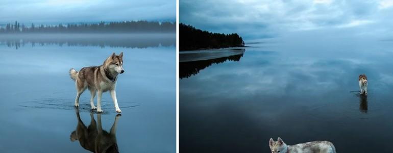 Bámulatos fotók a tükörjéggé fagyott tavon egyensúlyozó huskykról