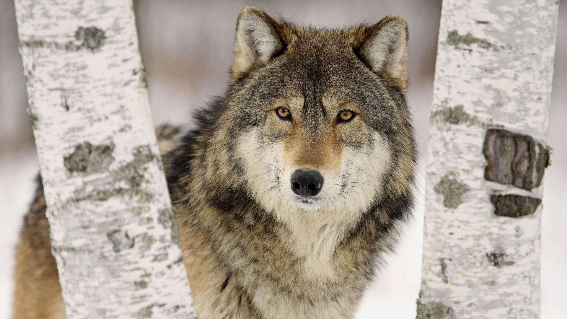 A pécsi ügy ellenére is cél a farkasok Magyarországra telepítése