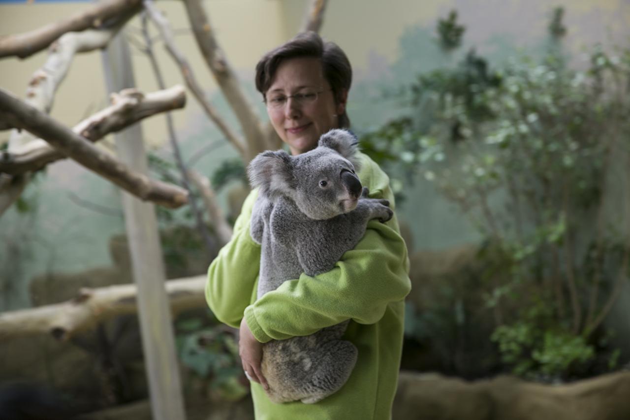 Így élik mindennapjaikat a budapesti koalák