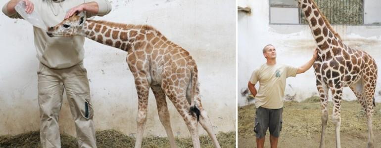Egy éves lett a nyíregyházi zsiráfbébi