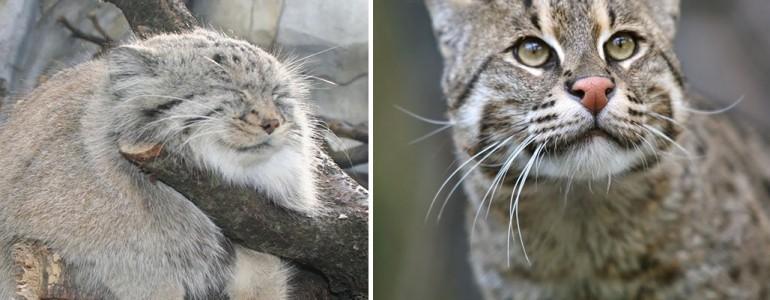 20 különleges és ritka macskaféle, amiről még nem hallottál