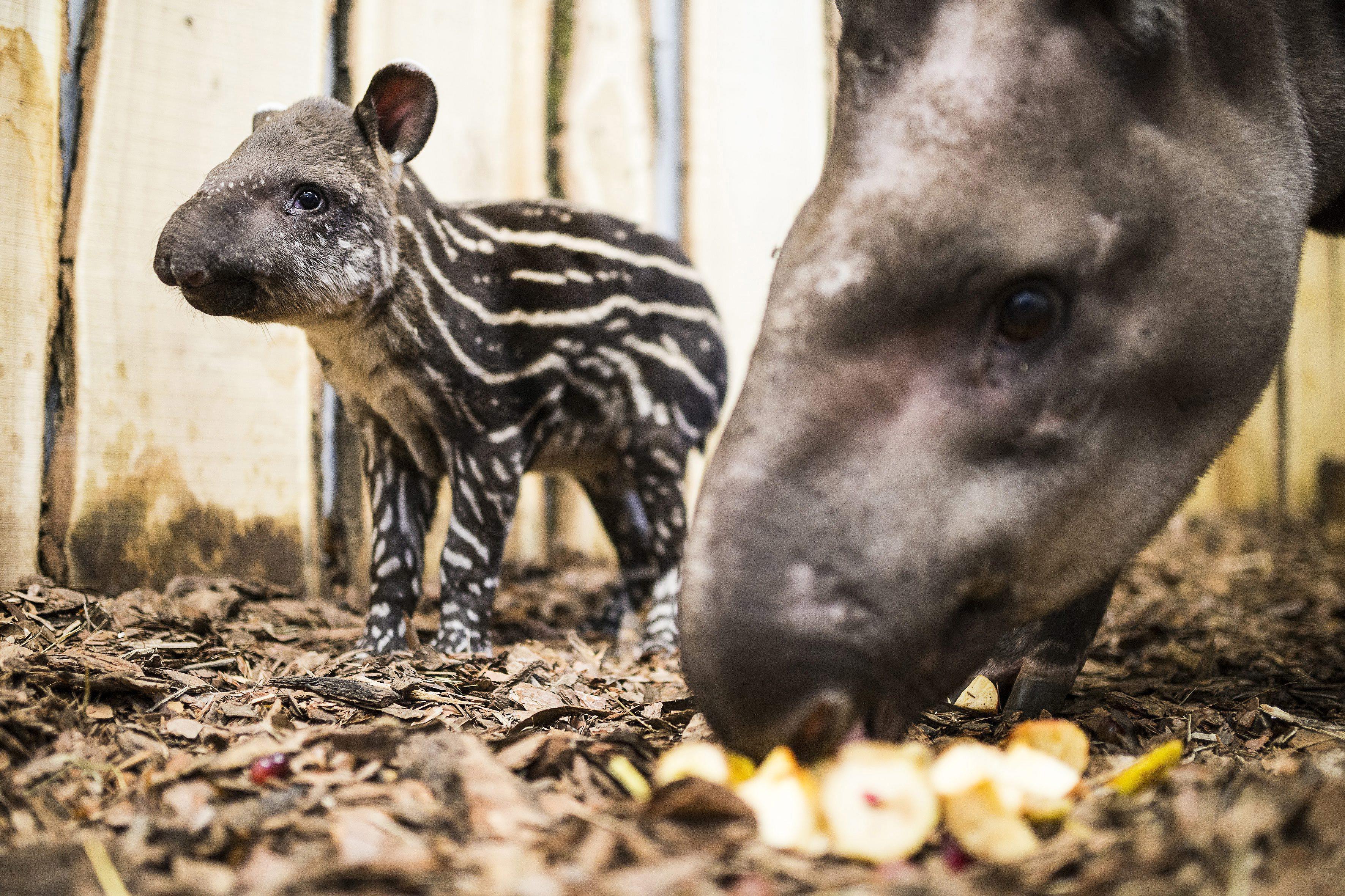 Dél-amerikai tapírbébi született Nyíregyházán