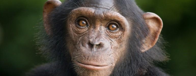 Az amerikaiak leállítják a csimpánzkutatásokat