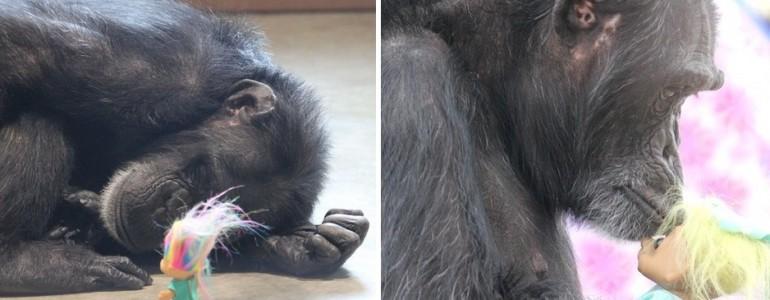Játékbabával vigasztalódik a tragikus múltú csimpánzlány