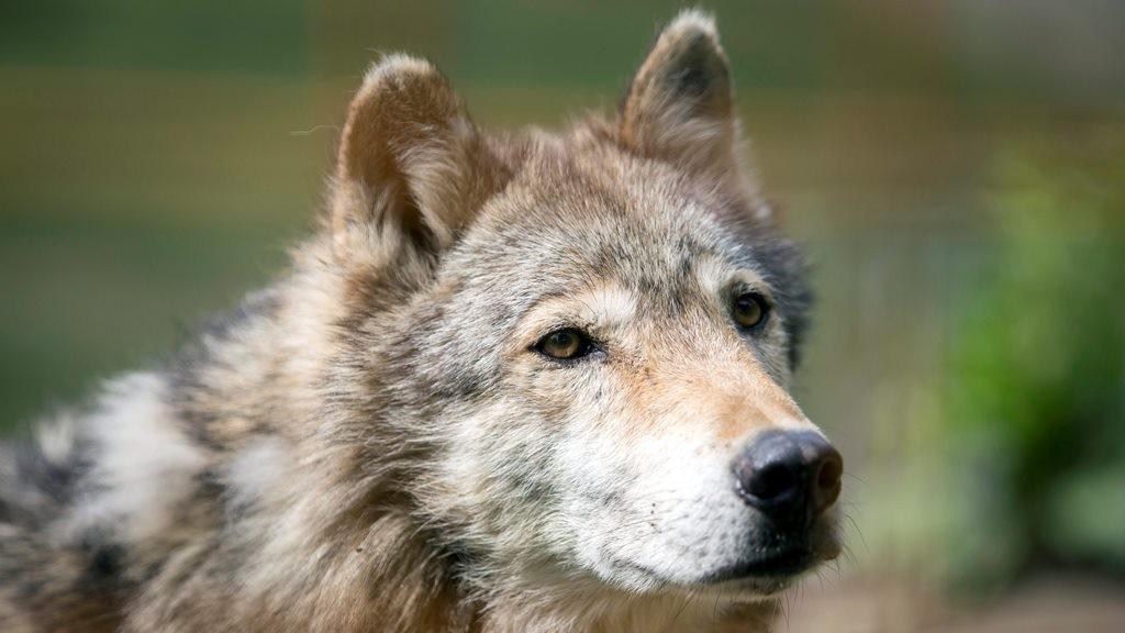 Nem csitulnak a kedélyek a szökött farkas kilövésének ügyében