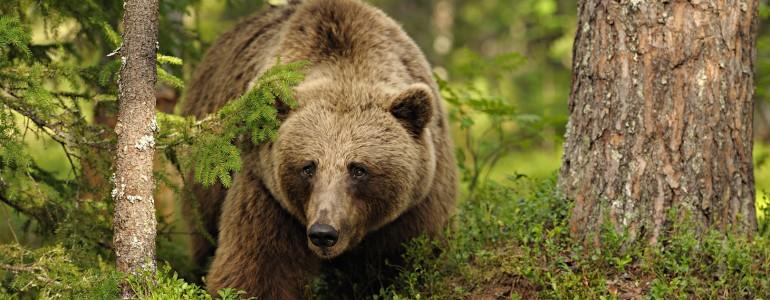 Medvék Magyarországon – Van ok az aggodalomra?