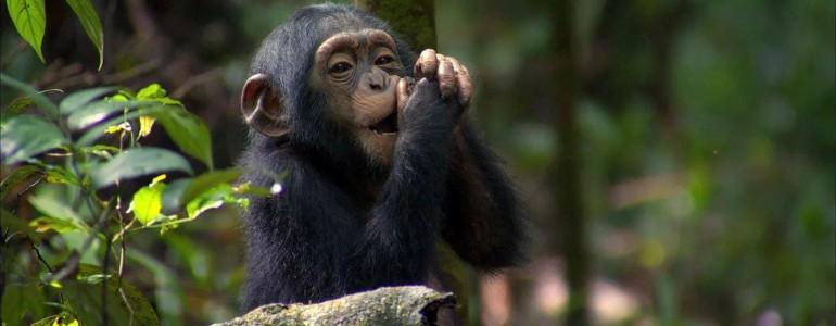 Elszigetelődnek csoportjuktól az anyjuktól korán elválasztott csimpánzok