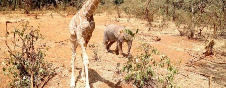 A bébizsiráf és a kis elefánt bebizonyítja, hogy a barátság nem ismer határokat