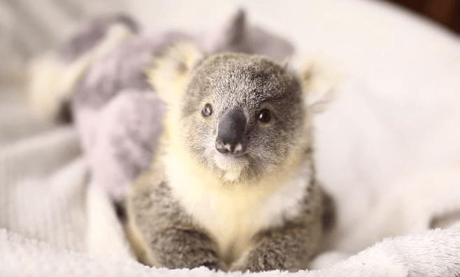 Egy bébikoala első fotózása