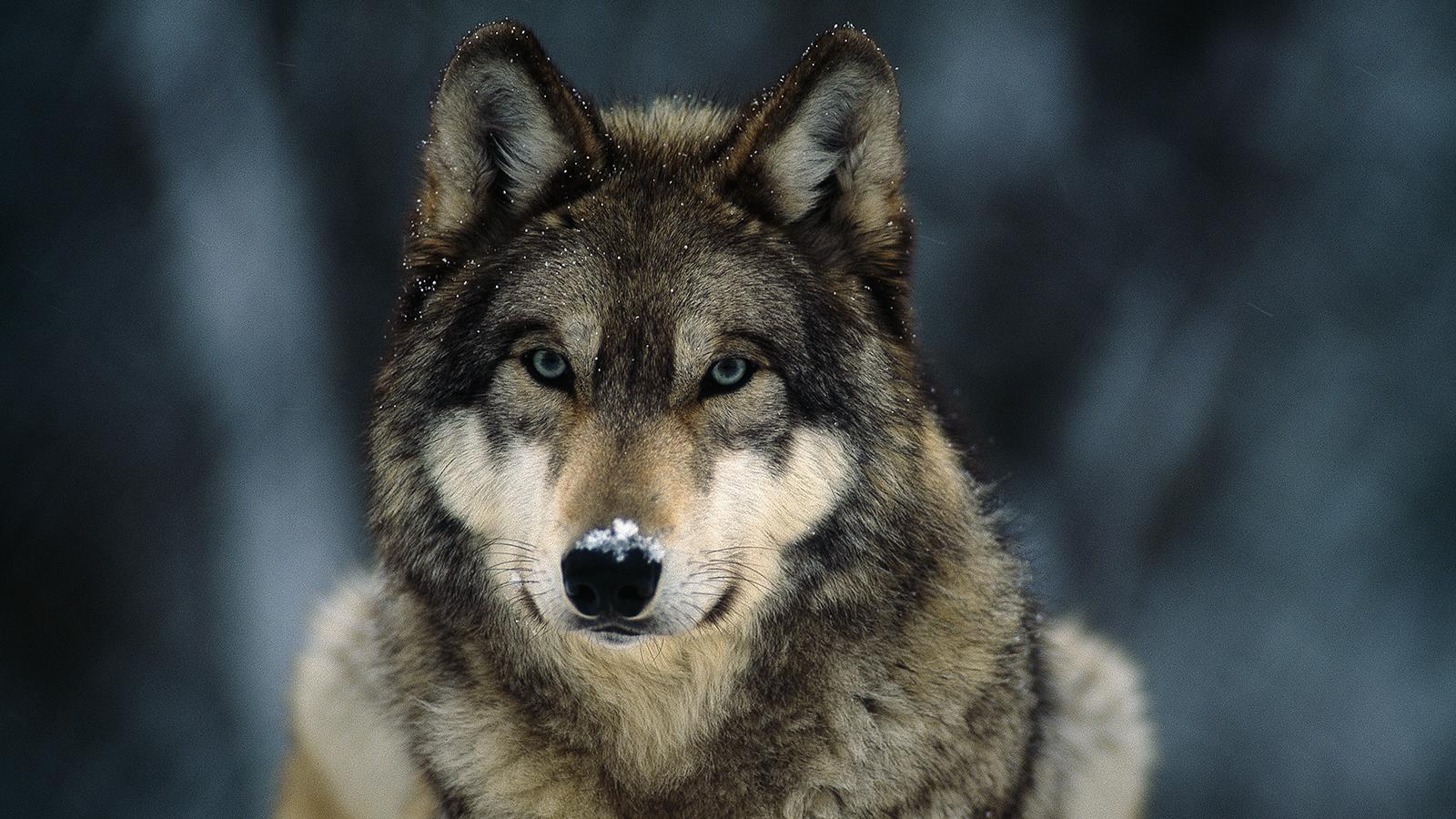 Megszólalt a 20 évvel ezelőtti farkastámadás áldozata a pécsi ügyben