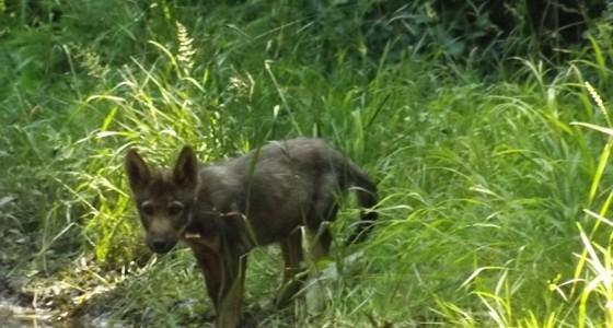 A Bükkben sétálva bármikor összefuthatunk farkasokkal