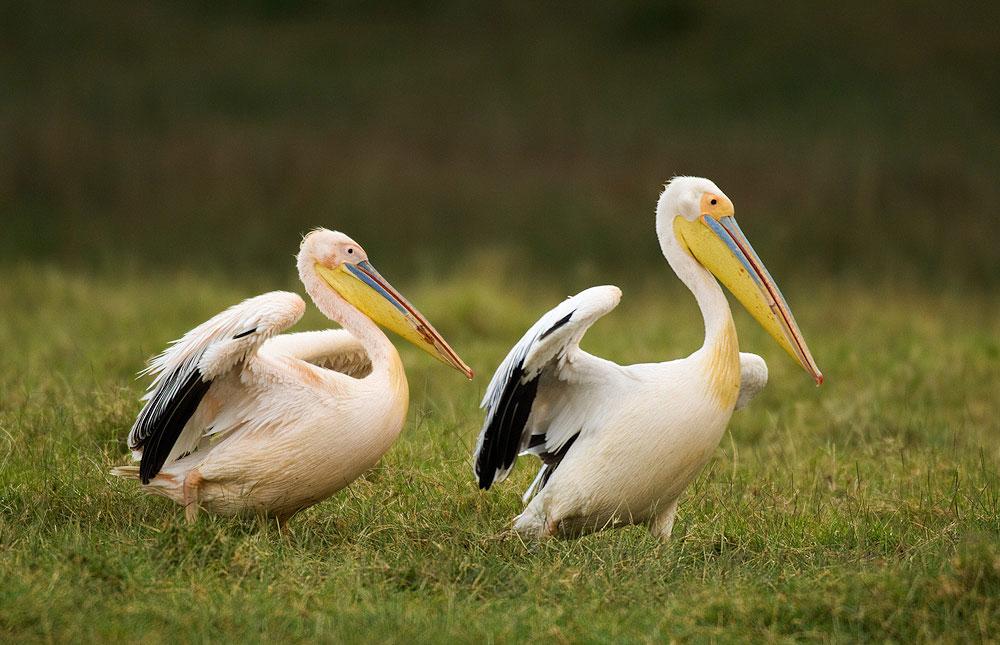 A vándormadarak több mint fele eltűnhet a klímváltozás miatt