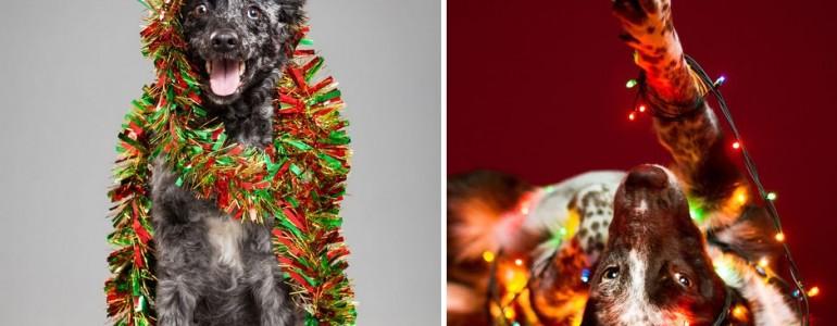 Cuki kutyák, akik már nagyon készülnek a karácsonyra