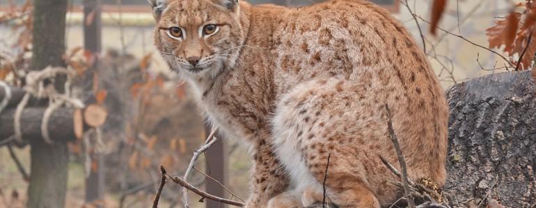 Benépesült a hiúzkifutó a Miskolci Állatkertben