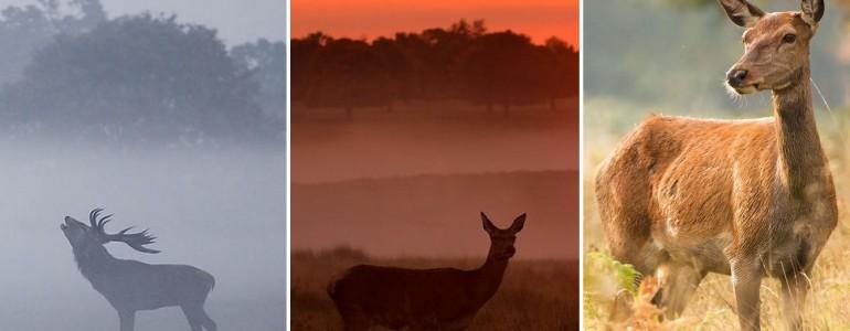 Mesebeli fotók a London szívében élő szarvasokról