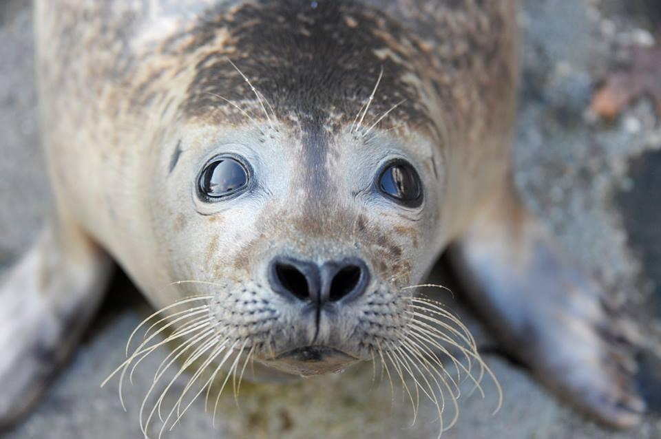 5 hónapos lett a Nyíregyházi Állatpark fókabébije