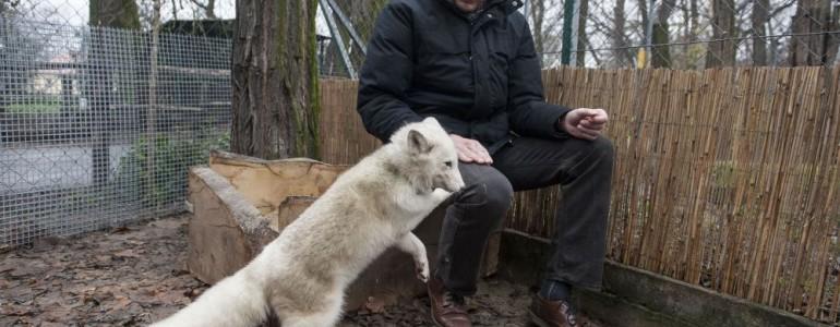 Panellakásból költözött a kecskeméti állatkertbe a sarki róka