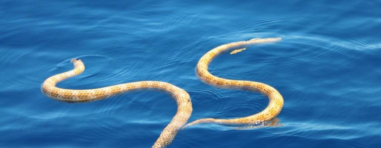 Kihaltnak hitt tengerikígyófajokra bukkantak