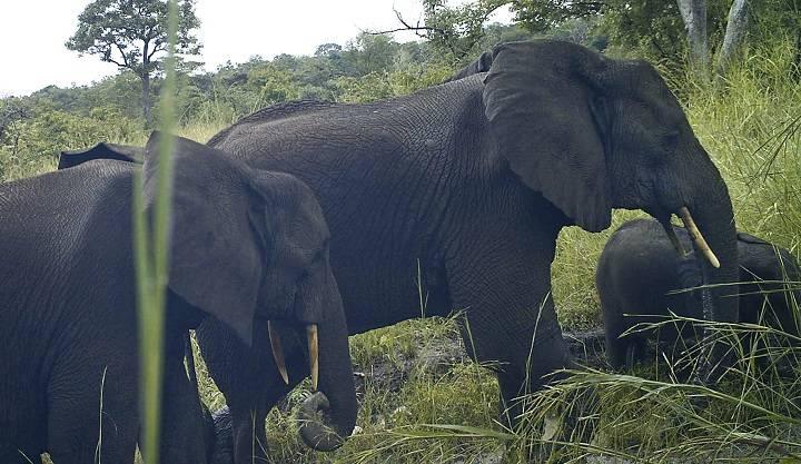 Először fotóztak erdei elefántot a háború sújtotta Dél-Szudánban