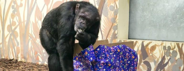Karácsonyi ajándékot kaptak a Veszprémi Állatkert csimpánzai