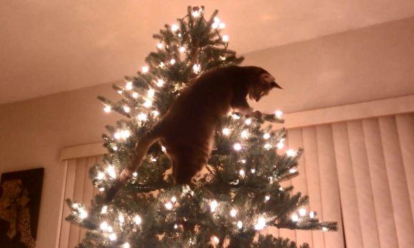 Macskák a karácsonyfa ellen egyetlen vicces videóban