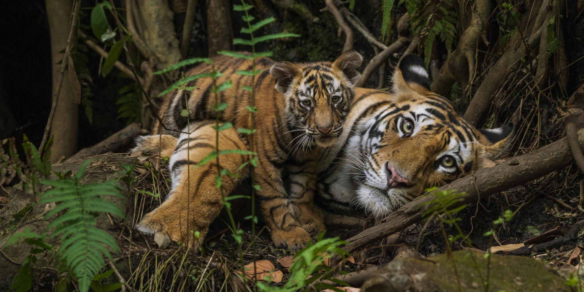 Harminc éve nincs nyoma a vadon élő dél-kínai tigrisnek