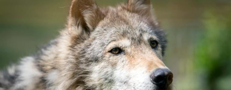 Lezárult a nyomozás a pécsi farkas ügyében, nem vonják felelősségre az igazgatót
