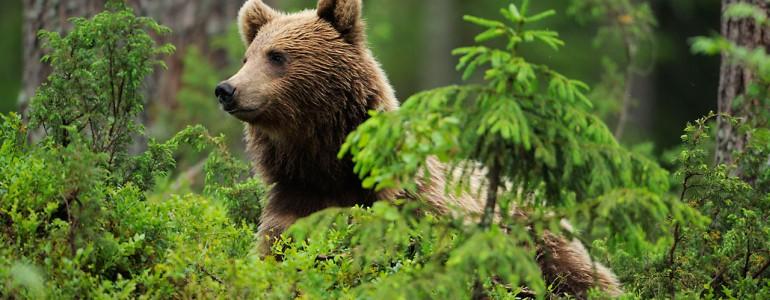 Medvetámadás volt Szlovákiában