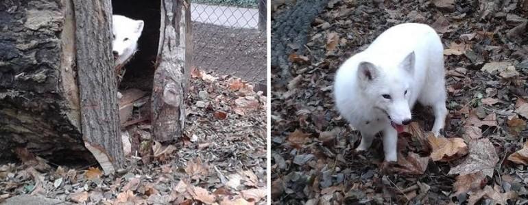 Megérkezett Hógolyó, a sarki róka a Kecskeméti Vadaskertbe