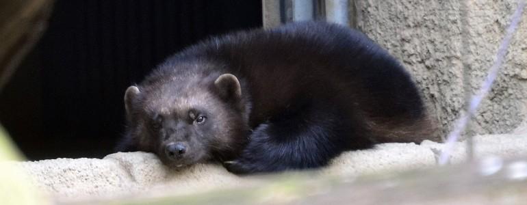 Budapesten több, mint száz éve nem látott állat érkezett a Fővárosi Állatkertbe