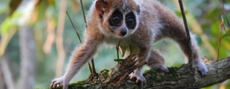 Először figyeltek meg téli álmot alvó főemlőst Madagaszkáron kívül